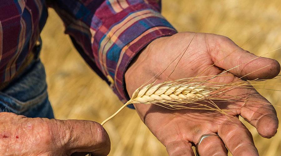 пшеница камут хорасан